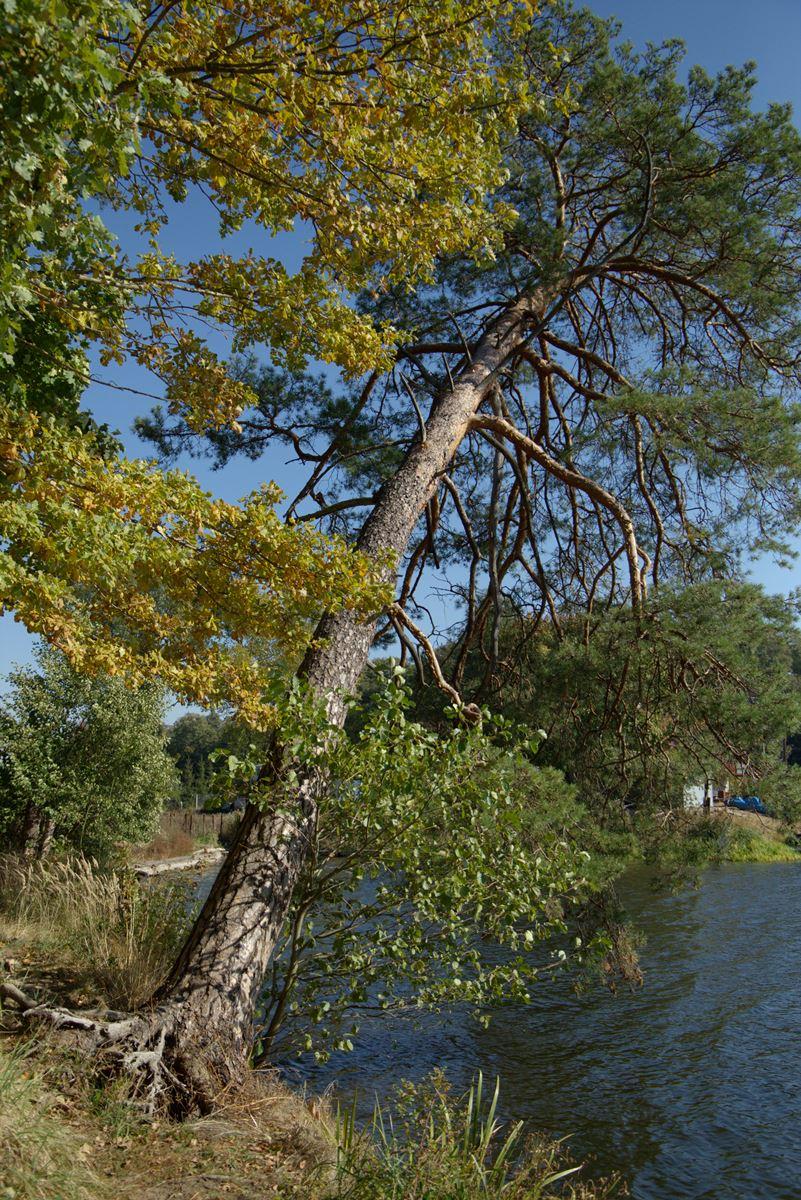 sosna zwyczajna pinus silvestris